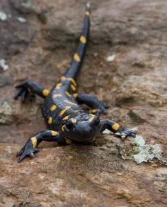 fire-salamander-1364981-m.jpg
